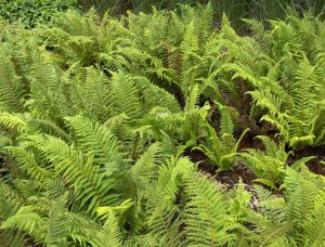 Filices (Ferns)