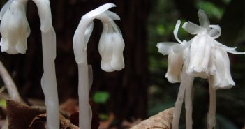 Monotropa Uniflora (Bird,Nest)