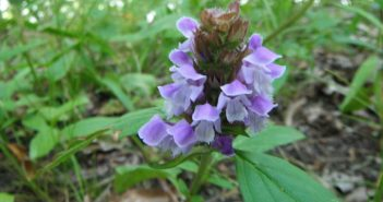 Prunella Vulgaris (All Heal)