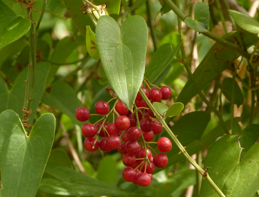 Smilax Officinalis (sarsaparilla)