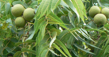 Whte,Juglans Cinerea (Walnut)